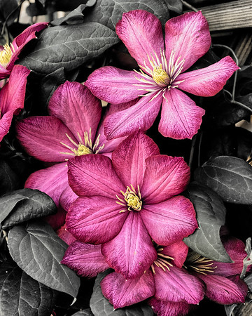 Trailing Clematis