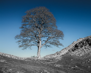Sycamore Gap Selective Color