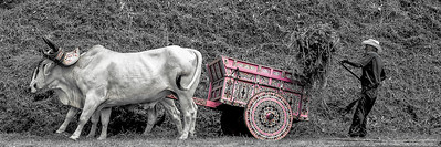 Pink Ox Cart