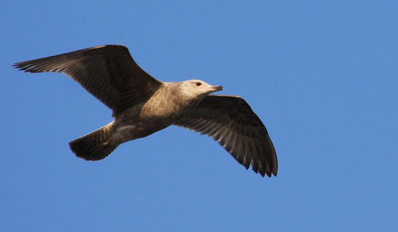 Immature Black Backed Gull