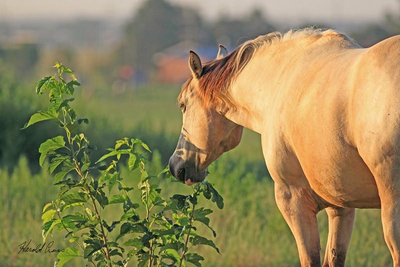 A horse taken July 25, 2010 near Portales, NM.