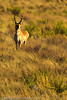 An Antelope taken Oct. 29, 2011 near Taiban, NM.