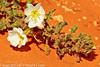 A Wildflower taken April 28, 2012 near Portales, NM.