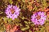 A wildflower taken Apr. 27, 2012 near Las Vegas, NM.