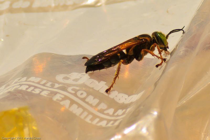 A wasp taken July 17, 2011 near Kenna, NM.