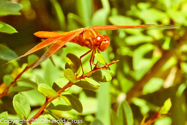 A dragonfly taken July 19, 2012 in Albuquerque, NM.