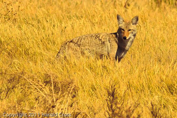 A Coyote taken Nov. 1, 2011 near Roswell, NM.