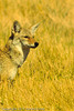 A Coyote taken Nov. 1, 2011 near Roswell, NM.