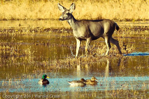 A deer with ducks taken Nov. 2, 2011 near Soccorro, NM.
