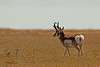 A pronghorn  taken Oct. 4, 2010 near Portales, NM.