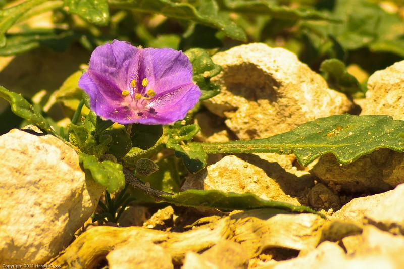 A wildflower taken July 4, 2011 near Portales, NM.