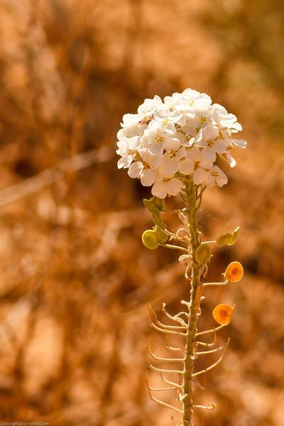 A wildflower taken July 17, 2011 near Portales, NM.