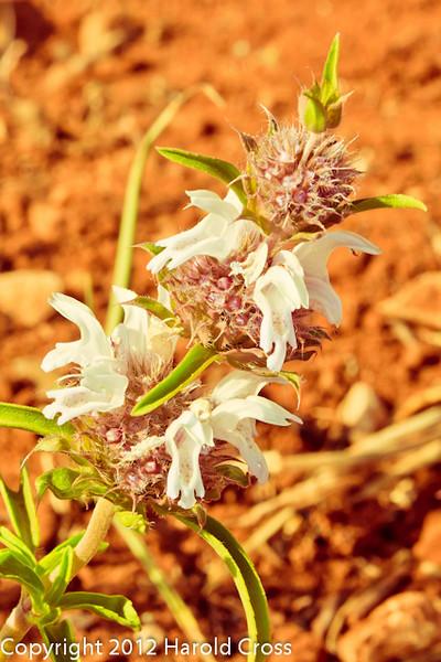 A Wildflower taken April 29, 2012 near Portales, NM.
