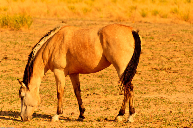 A horse taken July 2, 2011 near Portales, NM.