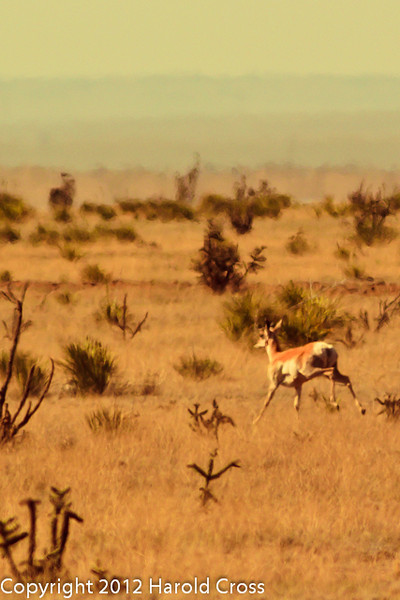 An  Antelope taken April 28, 2012 near Portales, NM.