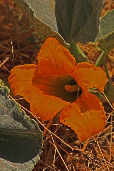 A wildflower taken May 15, 2011 near Portales, NM.