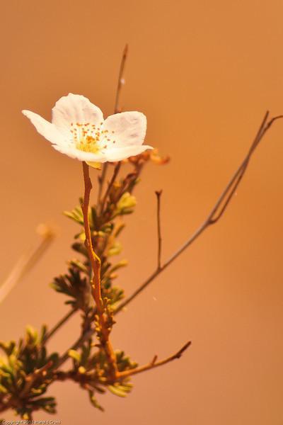 A wildflower taken July 21, 2011 near Las Cruces, NM.