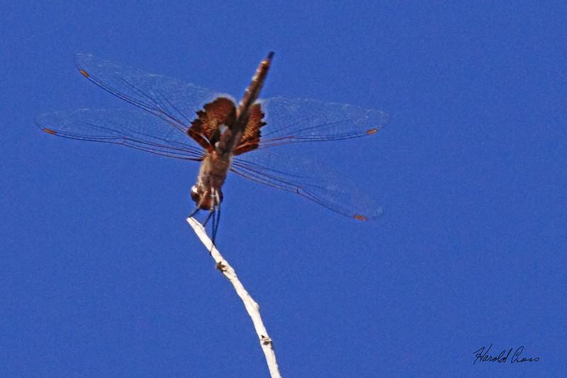 A dragon fly taken July 25, 2010 near Portales, NM.