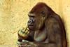 A Gorilla taken July 19, 2012 in Albuquerque, NM.