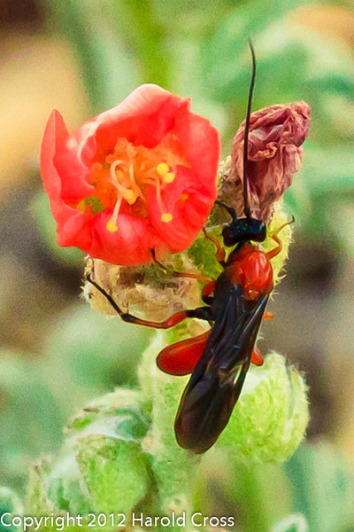 A Wasp taken April 29, 2012 near Portales, NM.