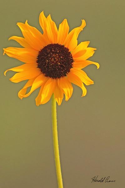 A flower taken July 24, 2010 near Portales, NM.