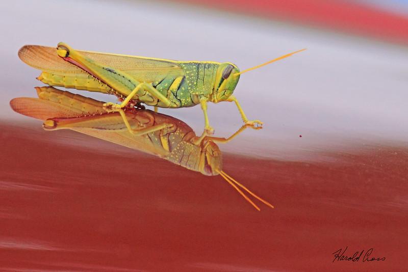 A grasshopper on a Toyota taken July 24, 2010 near Portales, NM.
