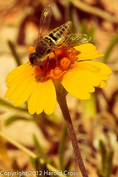 A wildflower with bee taken April 28, 2012 near Portales, NM.