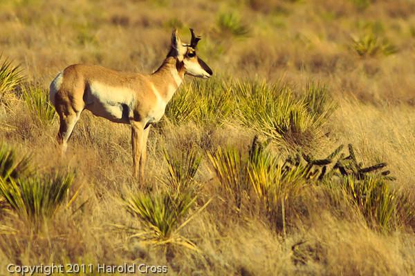 An Antelope taken Oct. 29, 2011 near Taiban, NM.