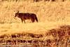 A Coyote taken Feb. 29, 2012 near Soccorro, NM.