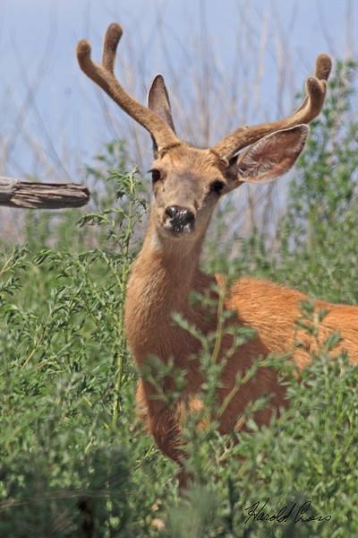 A deer taken July 22, 2010 near Arch, NM.