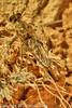 A Robber Fly taken April 28, 2012 near Portales, NM.