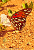 A butterfly taken April 29, 2012 near Portales, NM.