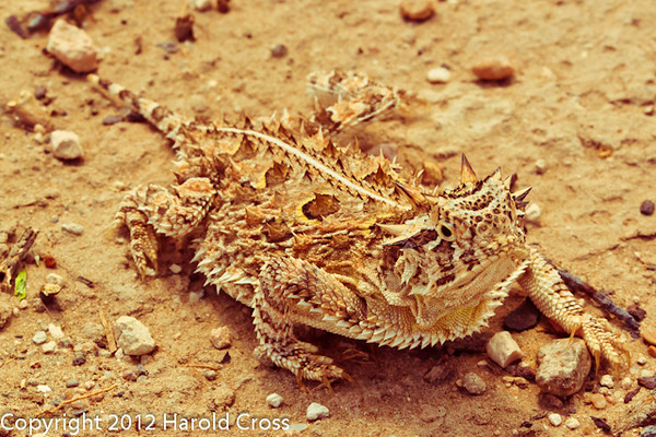 A Lizard taken April 29, 2012 near Portales, NM.