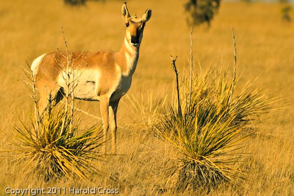 An Antelope taken Oct. 29, 2011 near Floyd, NM.
