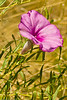 A wildflower taken Jul 14, 2011 near Portales, NM.