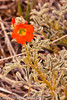 A Wildflower taken April 29, 2012 near Portales, NM.
