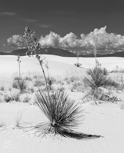 Leaning Yucca version 2