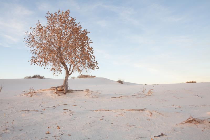 Golden Tree On White Sands