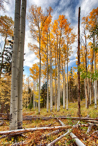 Aspens in the mountains near the Santa Fe ski basin. 3-shot HDR.