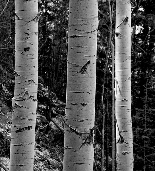 Aspens near Santa Fe, NM