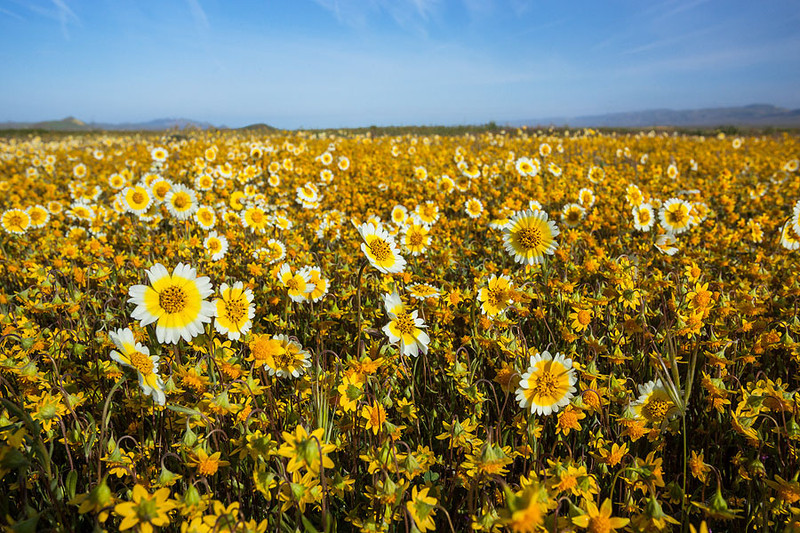 Tidy Tips and Goldfields, Carrizo Plain National Monument California
