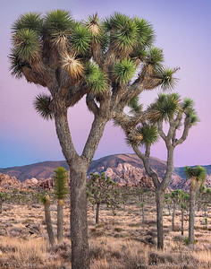 Joshua trees and Ryan Mountain at dusk in Joshua Tree National Park, California.