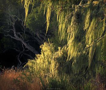 Los_osos_oaks_state_preserve_moss