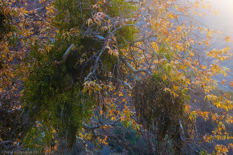 Fall_Color_Sycamore_Mistletoe_Sand_Canyon_Southern_California