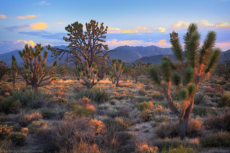Mojave Nature Preserve Joshua Tree Forest Clark Mountain