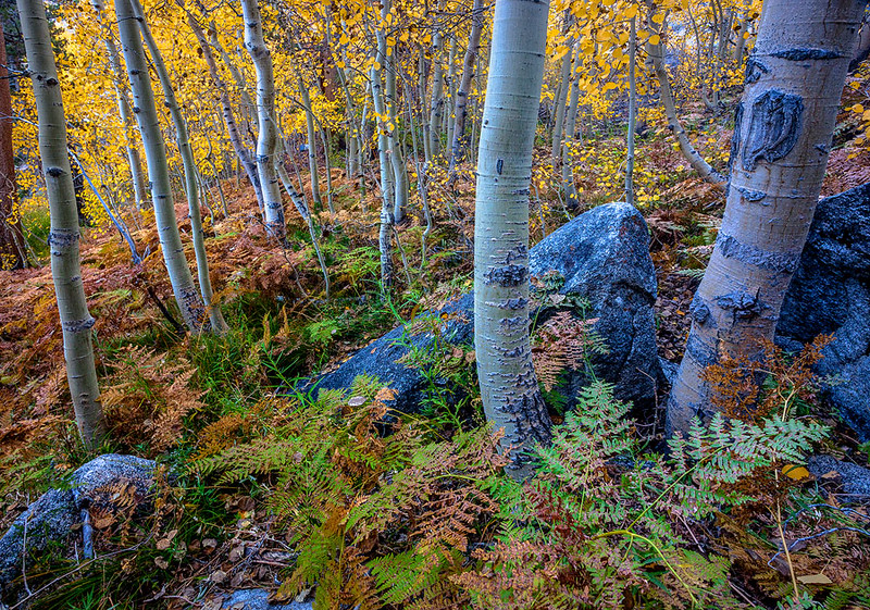 Bishop Creek Autumn Aspen Trees Ferns Eastern Sierra
