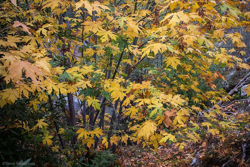 Los_Angeles_Nature_San_Gabriel_Mountains_Fall_Color_Big_Leaf_Maples