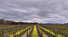 Napa Valley Vineyard in Spring