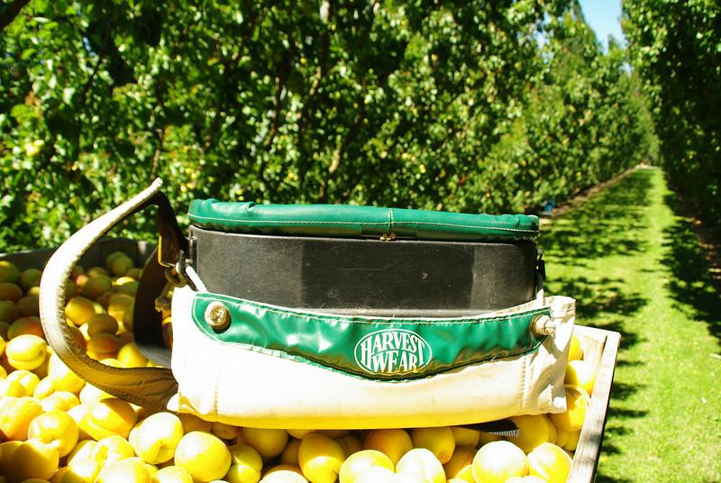 Apricot picking at Jacksons