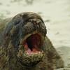 Hooker seelions angry